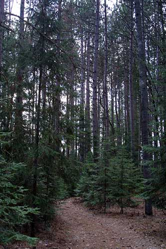 Tall Pines 2 photo